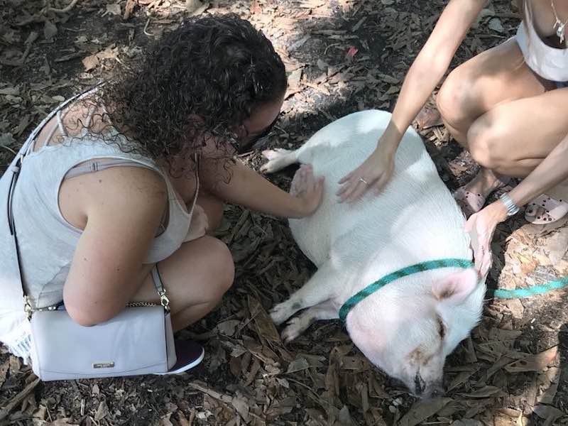 Pet a pig at the Deering Estate Miami